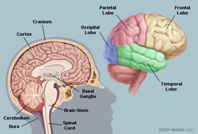 The_Human_Brain_Anatomy_WebMD_110420A