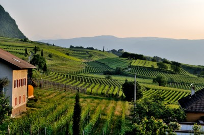Vineyards, Roland_Italy_100120A